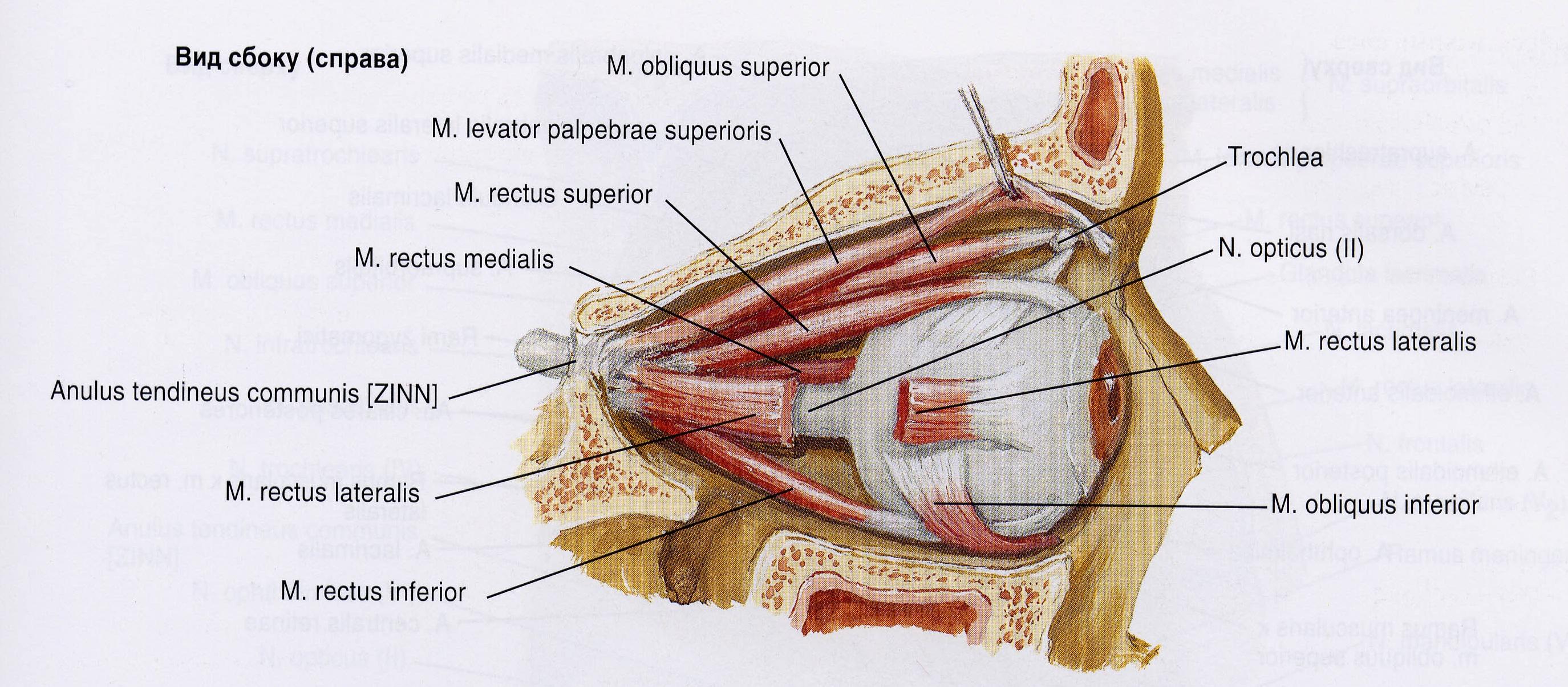 Рефлекс Растяжения Мышцы
