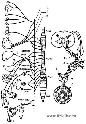 Парасимпатическая нервная система (ПСНС) была открыта несколько позже, чем симпатическая, и потому получила такое...